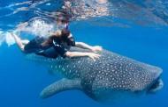 السباحة مع أسماك القرش الحوتي في مياه بحر عمان