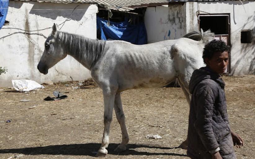 الخيول العربية الأصلية يتهددها الموت جوعا في اليمن الذي مزقته الحرب