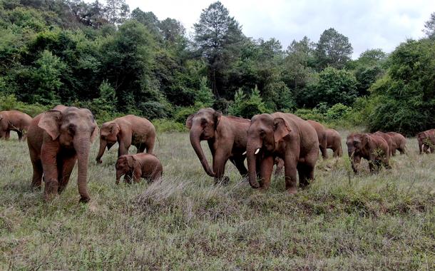 قطيع الأفيال المهاجر في الصين يواصل التجول جنوب غربي الصين